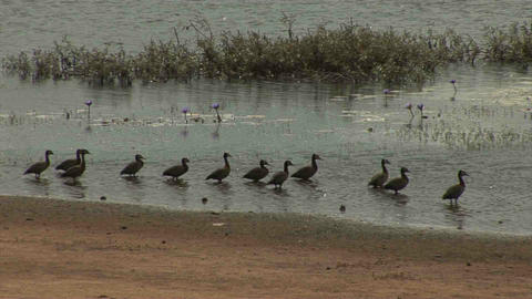 Geese Ducks, Landscape in Mozambique Footage