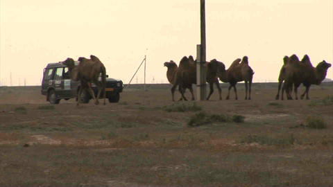 Car on Steppe Camels Oil Kazakhstan Footage