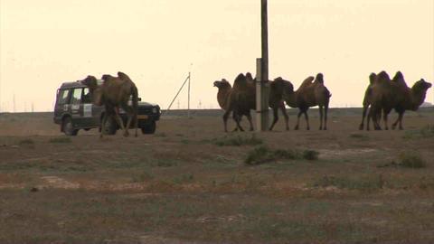 Car on Steppe Camels Oil Kazakhstan Footage