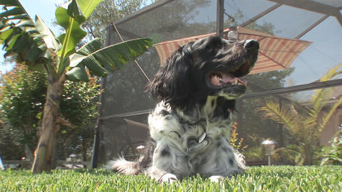 Dog in yard Stock Video Footage