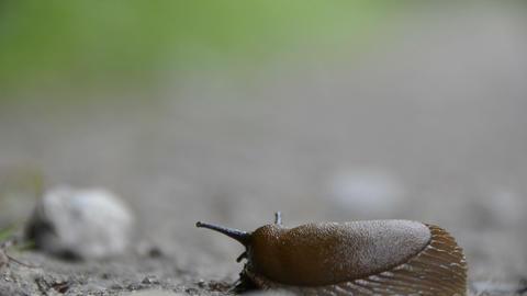 Snail arion vulgaris Stock Video Footage