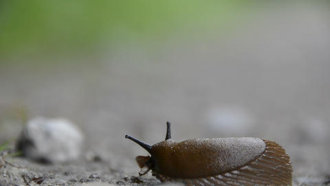Snail arion vulgaris Footage