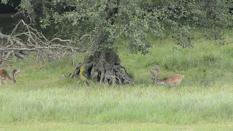 Two fallow deers grazing Stock Video Footage