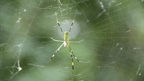 Nephila clavata Stock Video Footage