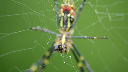 Spider, Nephila clavata Stock Video Footage