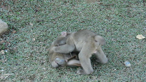Three young japanese macaques playing Stock Video Footage