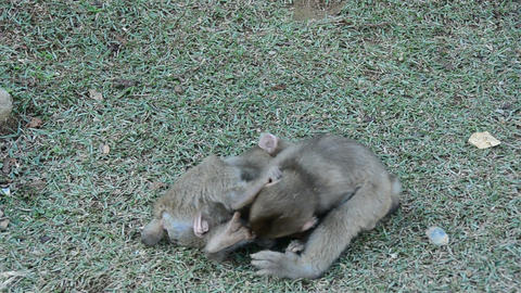 Three young japanese macaques playing Footage