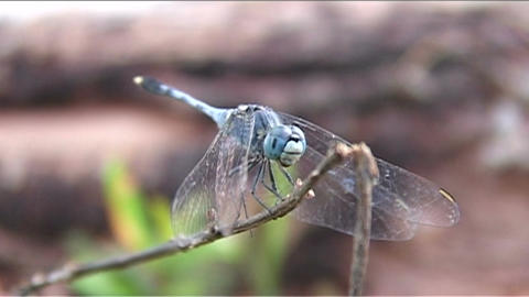 Dragonfly on tree Stock Video Footage