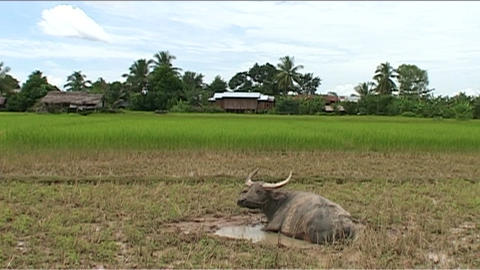 Waterbuffalo in country Stock Video Footage