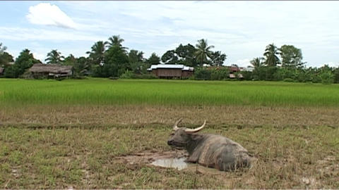Waterbuffalo in country Footage