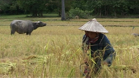 Woman working in rice fields Stock Video Footage
