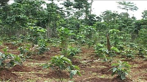 Boloven Plateau coffeeplantation Footage