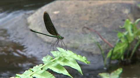 Dragonfly on frond Footage