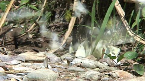 Vang Vieng, butterflies Stock Video Footage