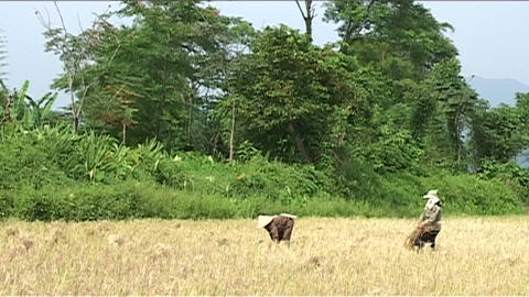 Woman at work on rice fields Stock Video Footage