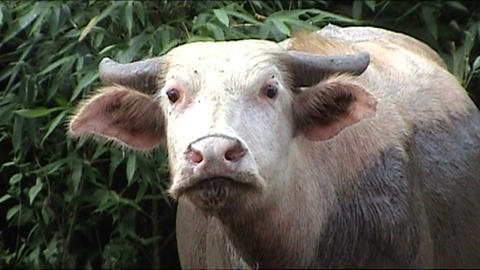 Albino waterbuffalo Stock Video Footage