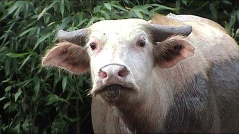 Albino waterbuffalo Stock Video Footage