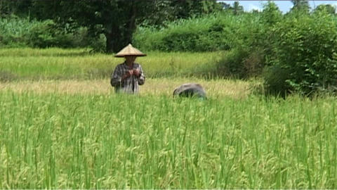 Man working in rice fields Stock Video Footage