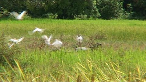 White birds in rice fields Stock Video Footage
