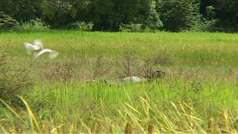 White birds in rice fields Stock Video Footage