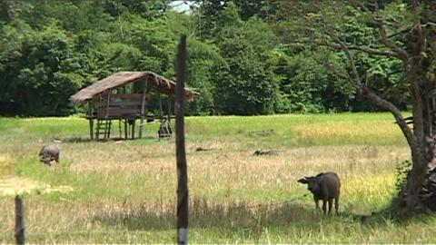 Buffalo in rice fields Stock Video Footage