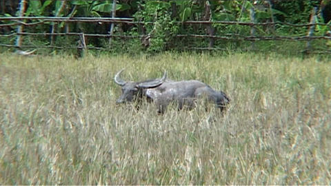 Water buffalo in the country Footage
