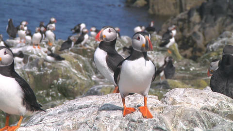 Group of puffins Stock Video Footage