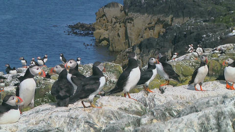 Group of puffins Footage