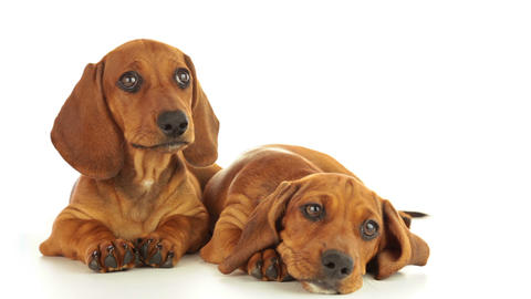 Two Dachshund Puppies stock footage