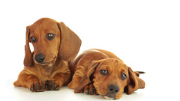 Two dachshund puppies Stock Video Footage