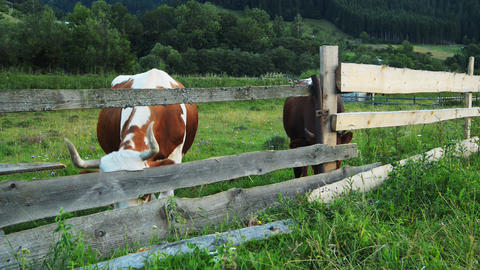 Cows graze in the mountains Carpathians Stock Video Footage