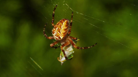 Spider bites its prey Stock Video Footage