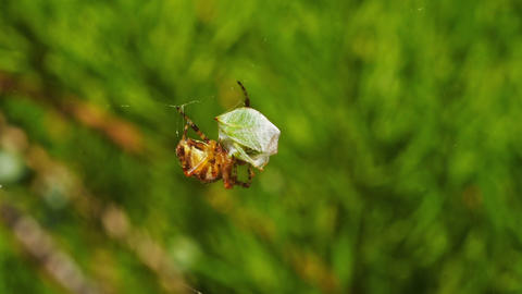 Spider and its prey Stock Video Footage