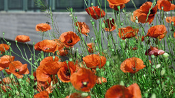 poppies flower field Stock Video Footage