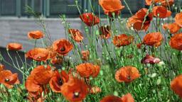 poppies flower field Stock Video Footage