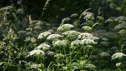 Apiaceae plant Stock Video Footage