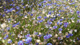 Flowers cornflowers Stock Video Footage