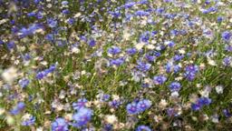 Flowers cornflowers Footage