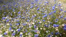 Flowers cornflowers Stock Video Footage
