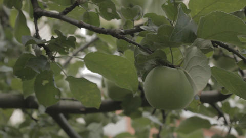 Apples On A Branch Ready To Be Harvested stock footage