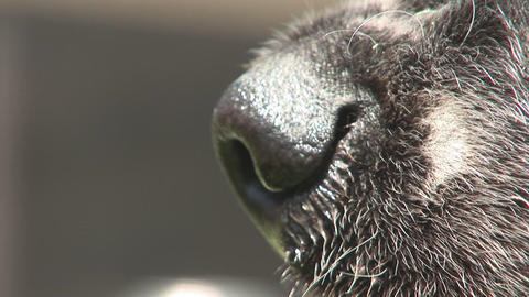 Dog snout close sniffing Stock Video Footage