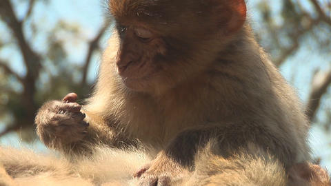 Barbary apes close Footage