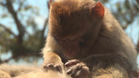 Barbary apes close Stock Video Footage