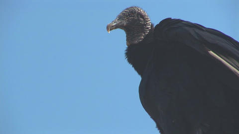 Vulture cleaning Stock Video Footage