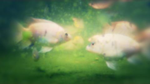 Pond Fish 01 Stock Video Footage