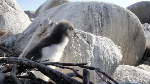 Atlantic murre (Uria aalge) chick Footage