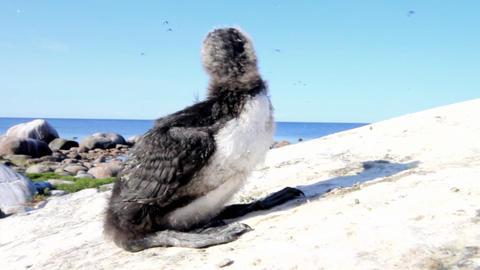 razorbill (Alca torda) chick Stock Video Footage