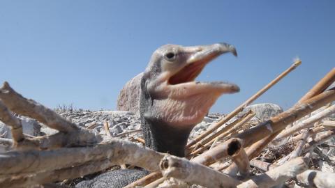 Baby birds of a cormorant Footage