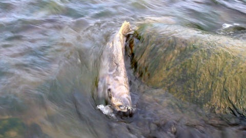 salmon after spawning Footage