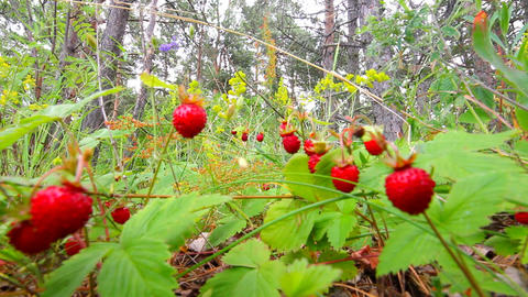 wild strawberry Stock Video Footage